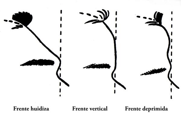 La frente nos indica la evolución de la conciencia